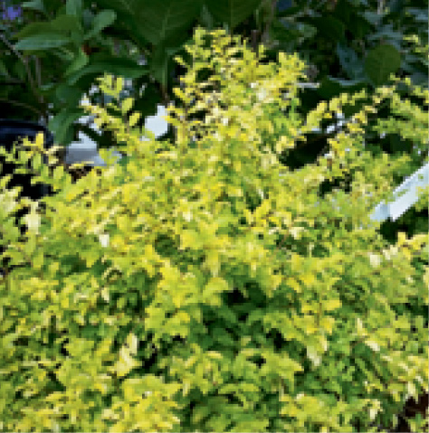 'Sunshine' ligustrum