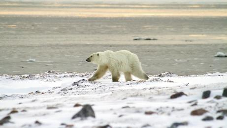 "Close Encounters: For the episode ""Bears Across America,"" they filmed polar bears in the Canadian tundra near the western shore of Hudson Bay. ""We were on the ground with the bears, meaning no safety fence between us,"" says Barnhardt. ""It was intense, awesome, and very cold."""