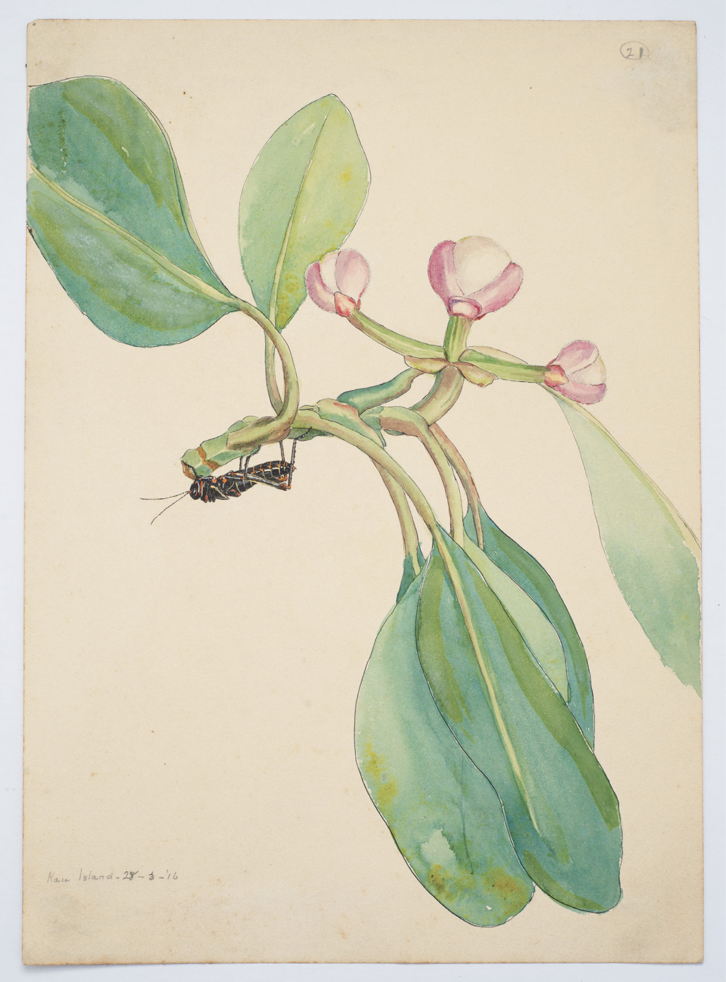 Taylor's 1916 watercolor of an unidentified plant, possibly Clusia grandiflora