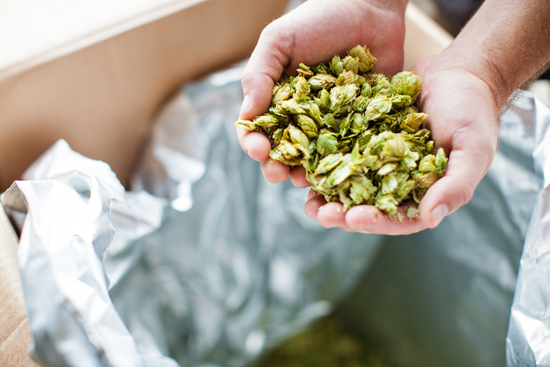 Chris Brown holds whole leaf Amarillo hops