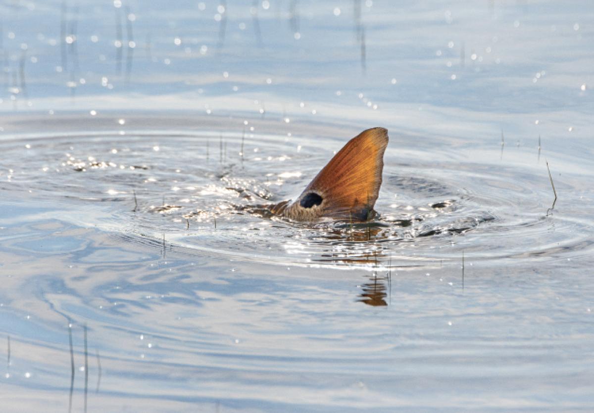 The redfish's telltale spot