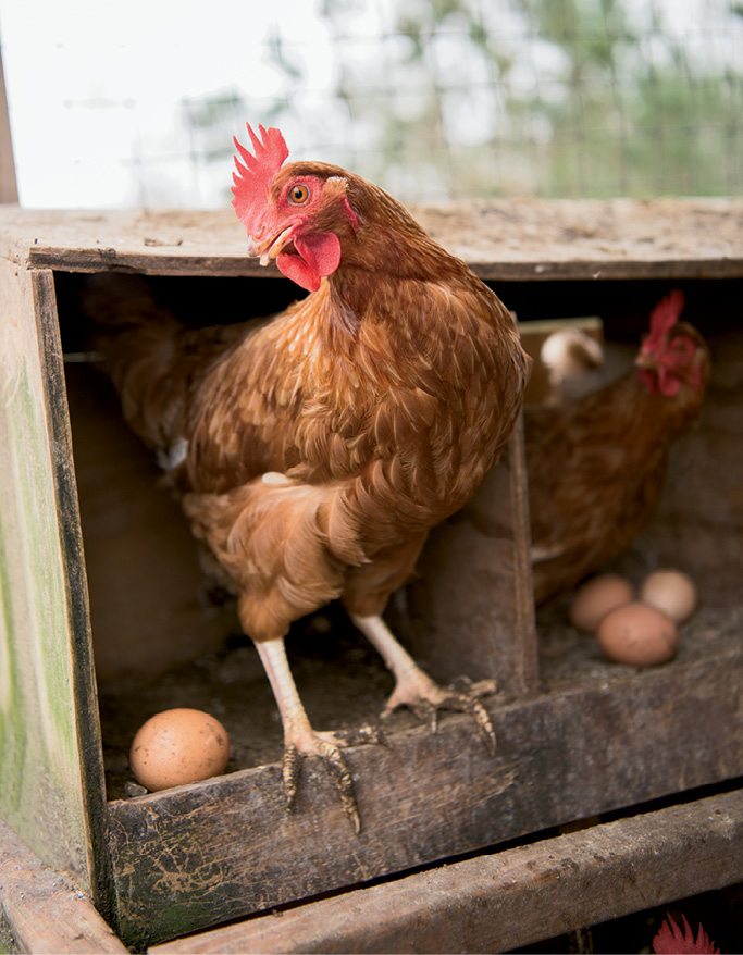 "An ISA Brown hen peers out; ""They all have unique personalities,"" Storey says."