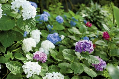 Branching Out: Tommy planted 10 varieties of hydrangea.