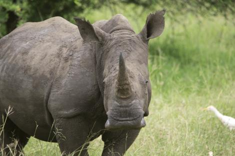 A rhino in South Africa.