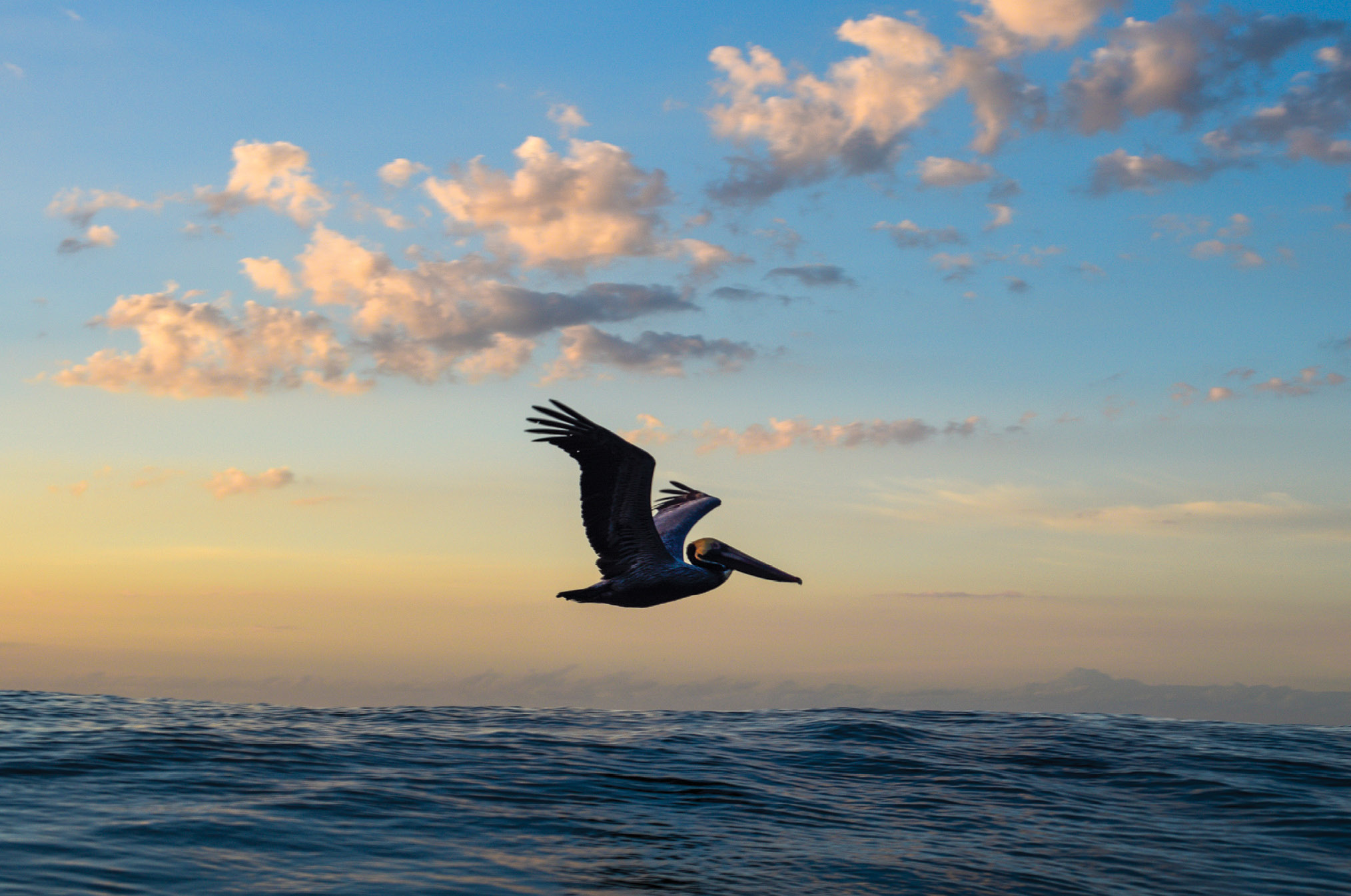 A pelican scans the waves during an April sunrise