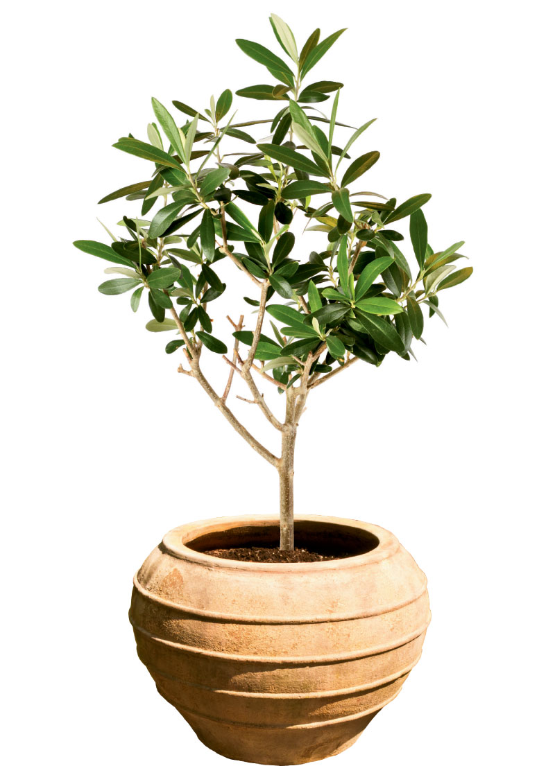 Olive tree, $99, and pot, $229, at Hyams Garden Center