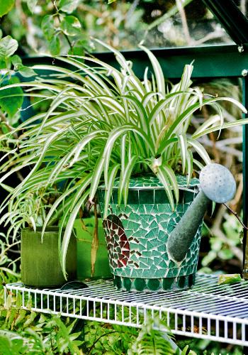 spider_plant_0_0.jpg