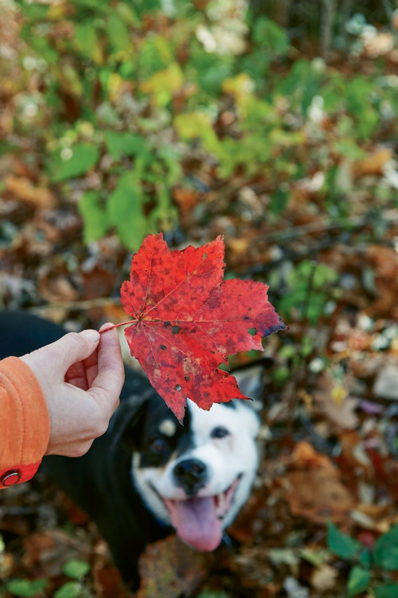 Peak leaf season is the perfect time to visit Brevard, at least according to our tail-wagging trail companion, Rosie.