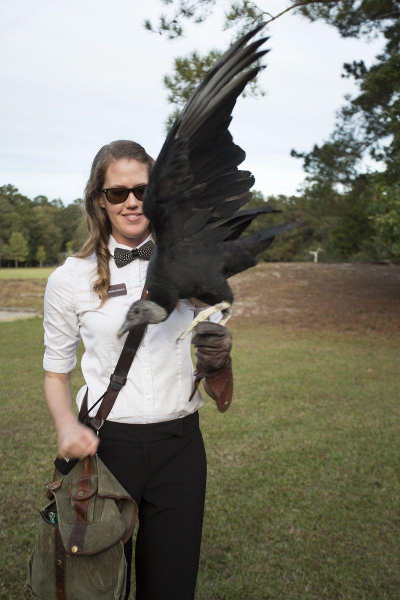 The black vulture in mid-flight