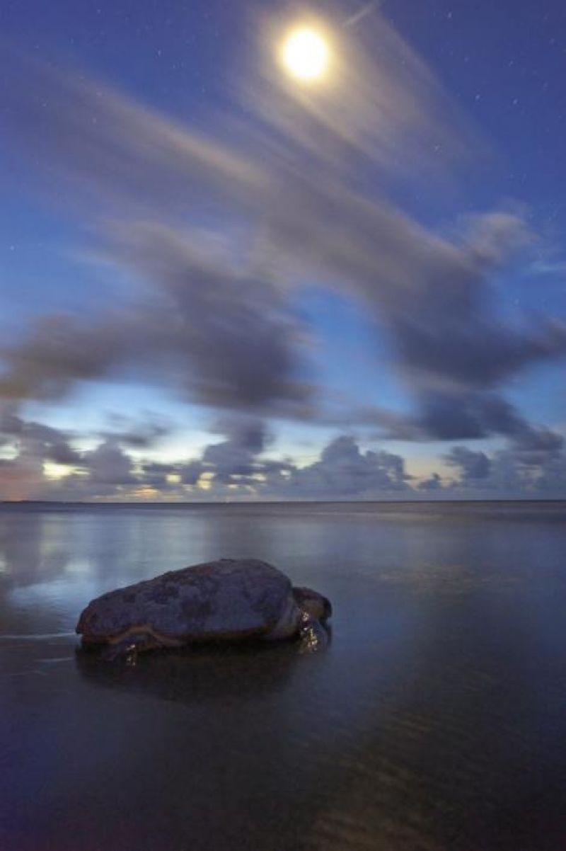 A mature female loggerhead returns to the sea after laying her eggs.
