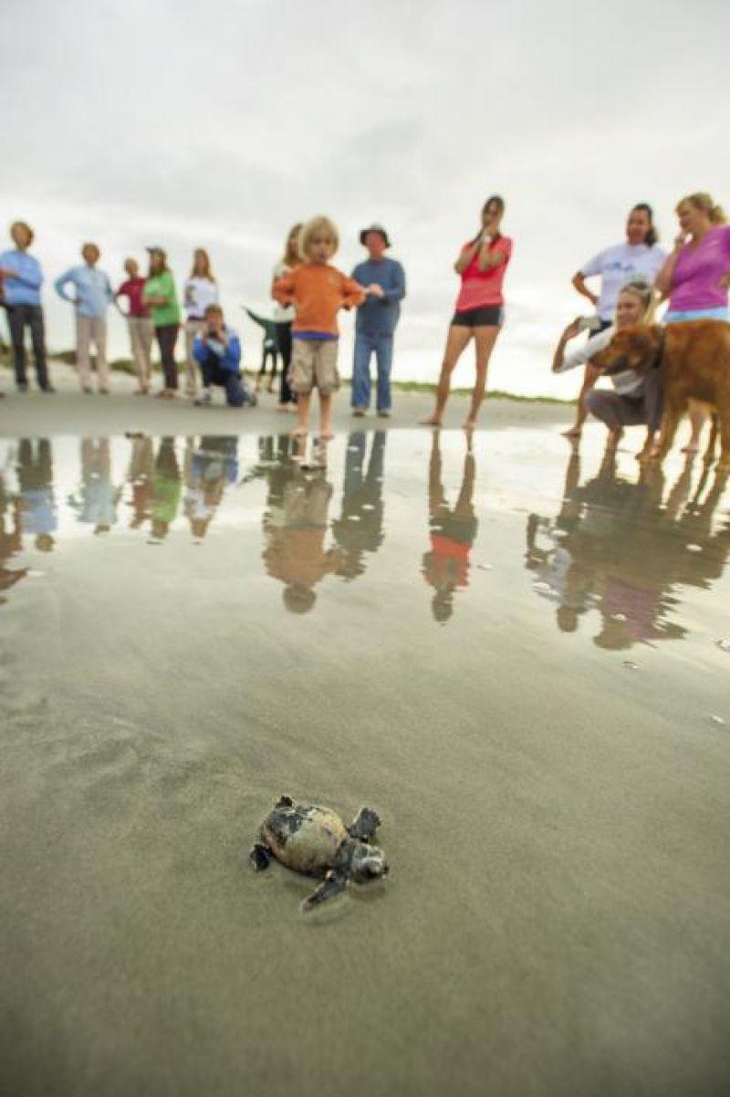 Volunteers nudge babbies toward the ocean.