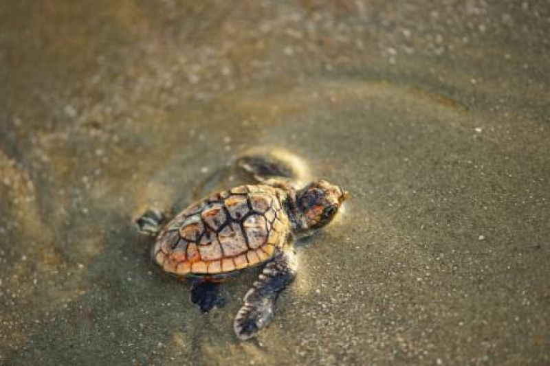 """""""These are definitely charismatic animals,"""" says Kelly Thorvalson of the S.C. Aquarium. People gravitate to and relate to sea turtles, and by becoming invested in turtle well being, they in turn become more interested in caring for the broader marine habitat."""