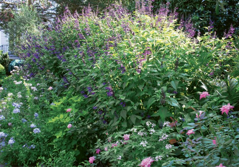 British Accents: To give Susan the perennial garden she'd been dreaming of, Wertimer created beds of 'Royal Blue' plumbago, pink Knock Out roses, and 'Lemon Drop' lantana on either side of a lawn that serves as play space for pups Max and Zoe.